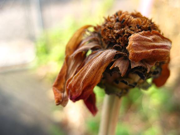 curled zinnia head
