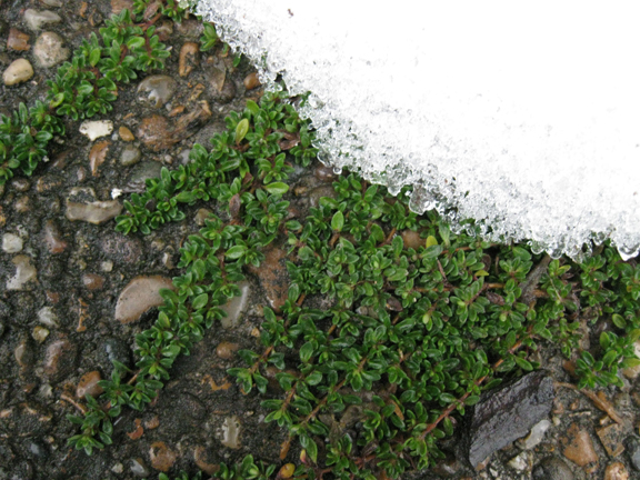 thyme in the snow