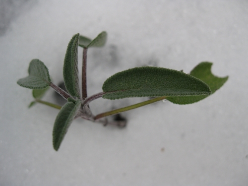 sage in the snow
