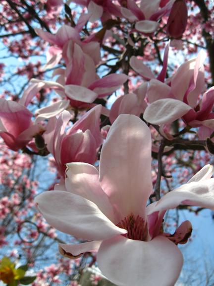 Ahh the magnolia