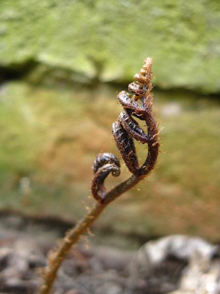 fern uncoiling