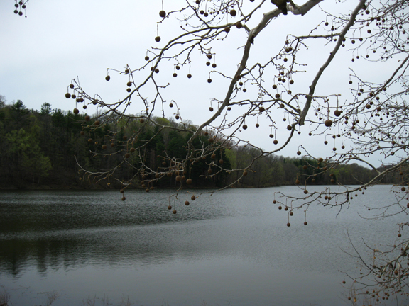 Sycamore tree over the lake