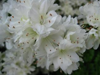 White azalea blooming