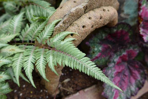fern and begonia