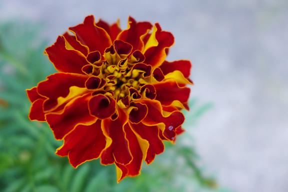 marigold 2013