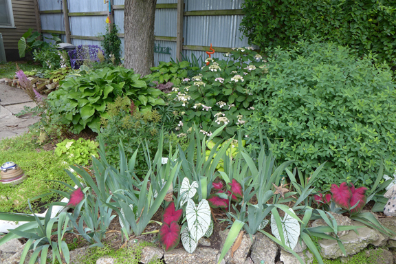 caladiums among the irises