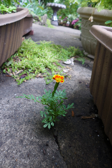 the brave marigold
