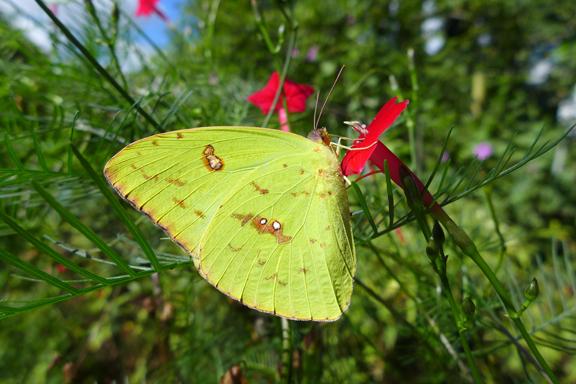 final butterflies