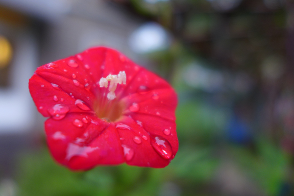 cardinal creeper in the rain