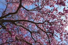 Magnolia Far