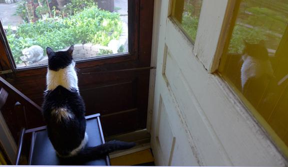 Shamoo watching the yard