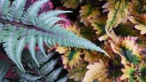fern and coleus