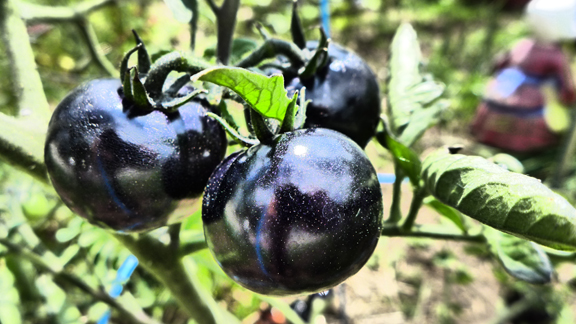 Blue Tomatoes