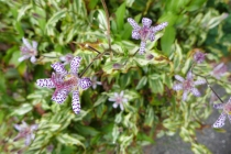 toad lily 2