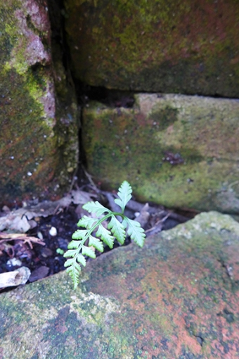 a tiny fern that I found growing next to the house's foundation and that I moved to the rock garden