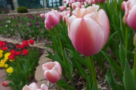 tulips at the Pagoda
