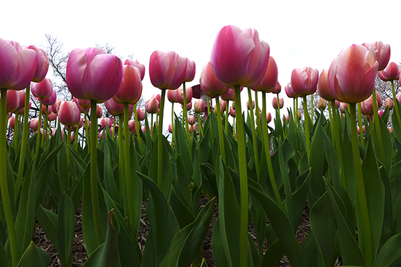 more tulips at the Pagoda