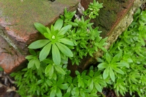 sweet woodruff among the bricks