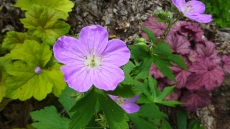 wild geranium: the first time it blossomed