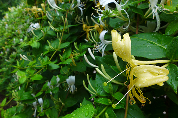 yellowed honeysuckle bloom