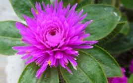 neat magenta flower
