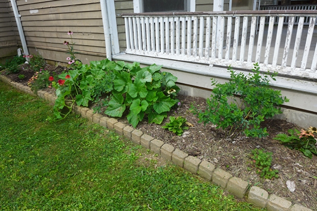 squash plants growing