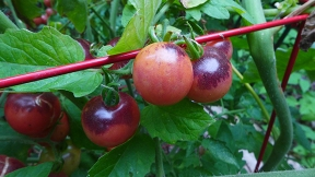 berry tomatoes