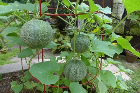 the best melons