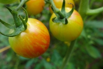 stripey tomatoes