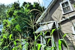 urban corn field