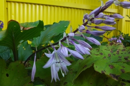 the last hosta bloom