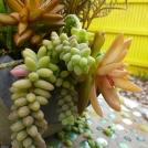 translucent succulents