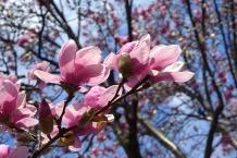 magnolia 08
