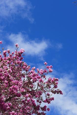 magnolia 17