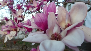 magnolia 24