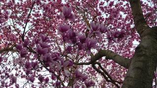 magnolia 25
