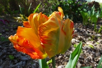 Professor Rontgen tulip