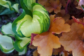 hosta and heuchera