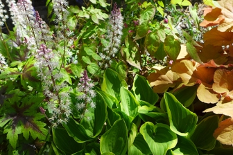 tiarella and friends