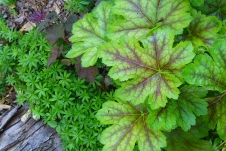 sweet woodruff and heuchera