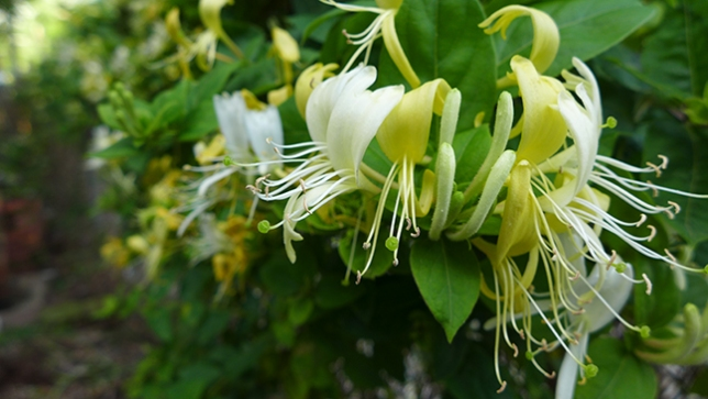 honeysuckle blossoms