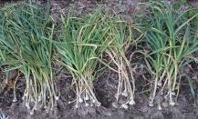 4 garlic bundles