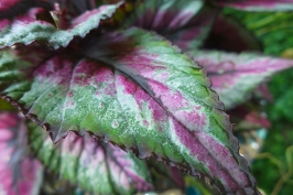 sparkly begonia