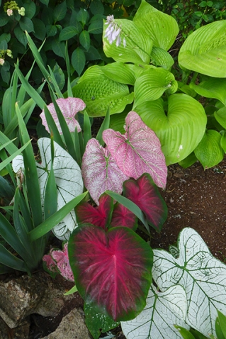 hosta and caladium