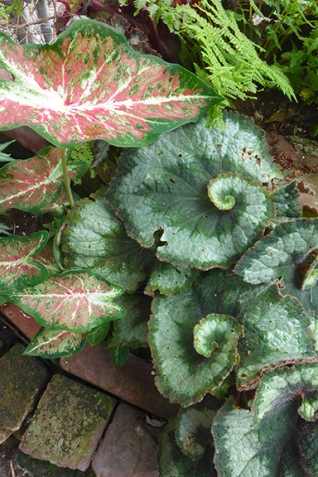 begonia and caladium