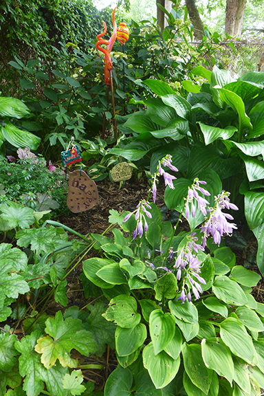 hostas blooming