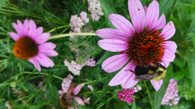 purple coneflower with bee and yarrow