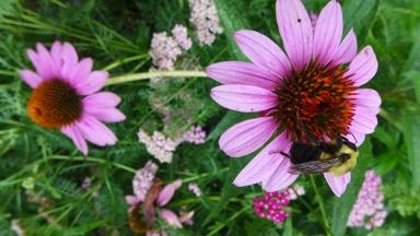 purple coneflower with bee and yarrow