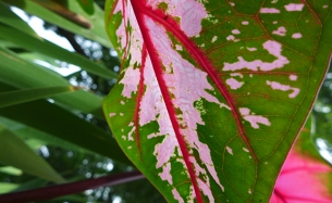 caladium from below