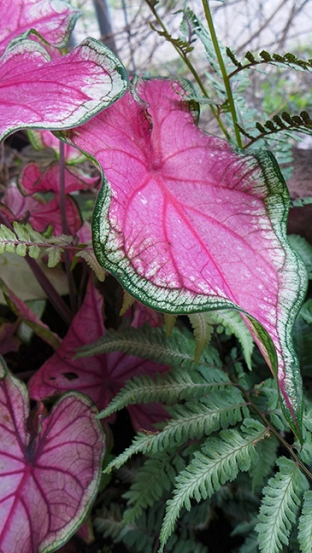 caladium and fern